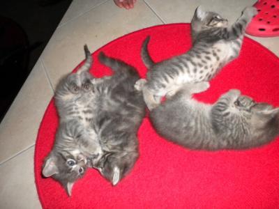 Gattini piccoli lazio annunci trovalo subito for I gattini piccoli