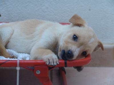Cuccioli Cane Meticci Taglia Piccola Due Mesi Vaccinato Cippato