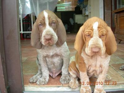 cuccioli bracco italiano sassari sardegna annunci