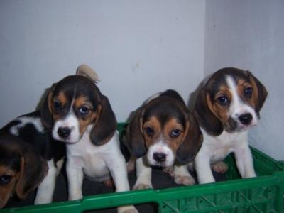 Bellissimi Cuccioli Di Beagle Catania Sicilia Annunci Trovalo