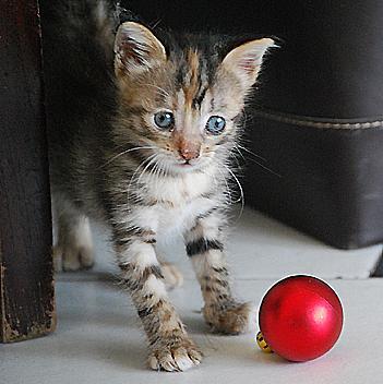 Cuccioli Di Gatti Tigrati