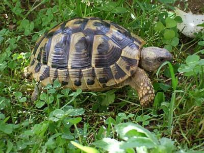 Vendo tartarughe terrestri thb con doc regolari novara for Tartarughe grandi