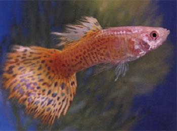 Pin pesci tropicali dacqua dolce on pinterest for Pesci acqua dolce tropicali