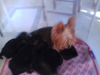 Cuccioli Di Yorkshire Terrier Con Pedigree Friuli Venezia Giulia