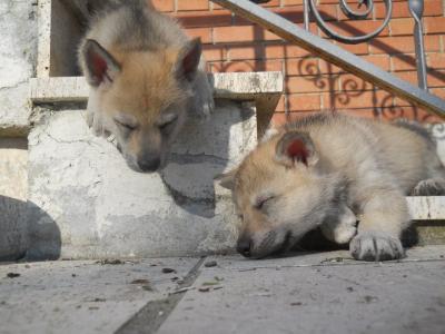 Vendesi Cuccioli Cane Lupo Cecoslovacco Siena Toscana
